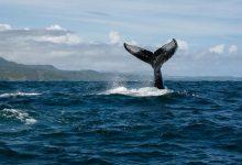 Las Ballenas Jorobadas dicen hasta luego